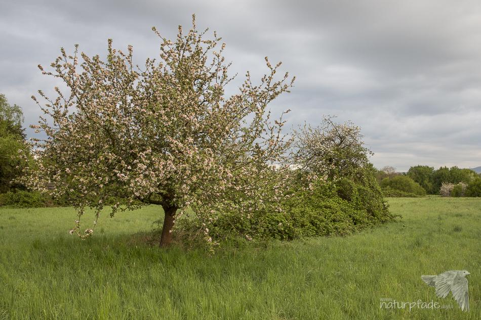 Obstpfad Sossenheim