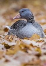 Graugans im herbstlichen Platanenlaub. © S. Rösner