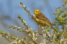 Im Frühjahr kann man sie singen hören. © M. Schäf