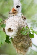 Beutelmeise am Nest. © M. Hoffmann