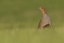 Ein Hahn ruft aufgeregt. © S. Rösner